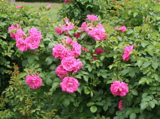 ピンク系バラ ターボ