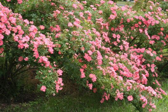 ピンク系バラ 春風