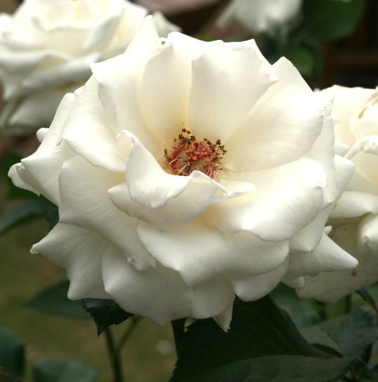 白系バラ パスカリ