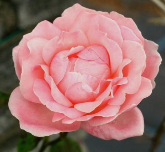 ピンク系バラ クイーンエリザベス
