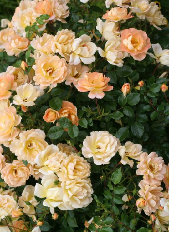 黄色系バラ ナイスインイージー