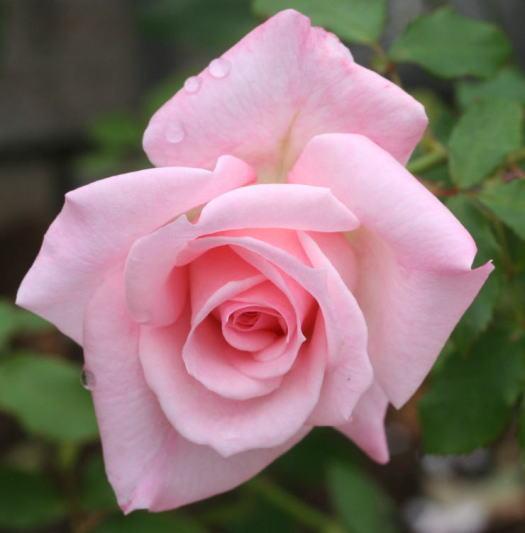 ピンク系バラ ブライダルピンク