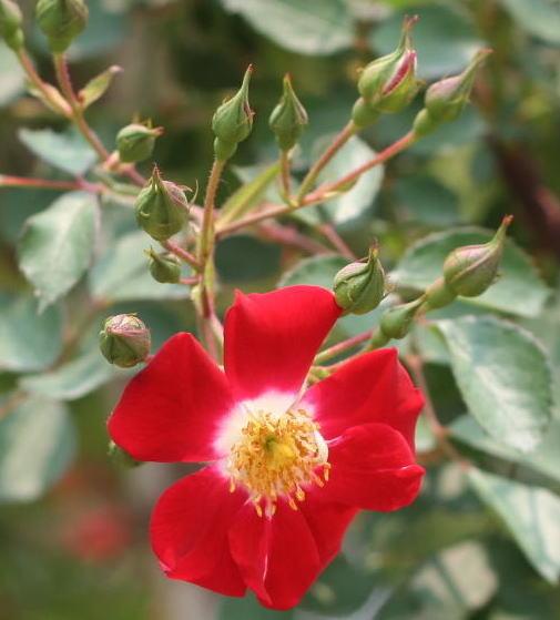 赤系バラ レッドメイディランド