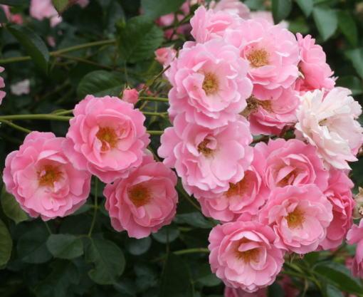 ピンク系バラ サマーウィンド