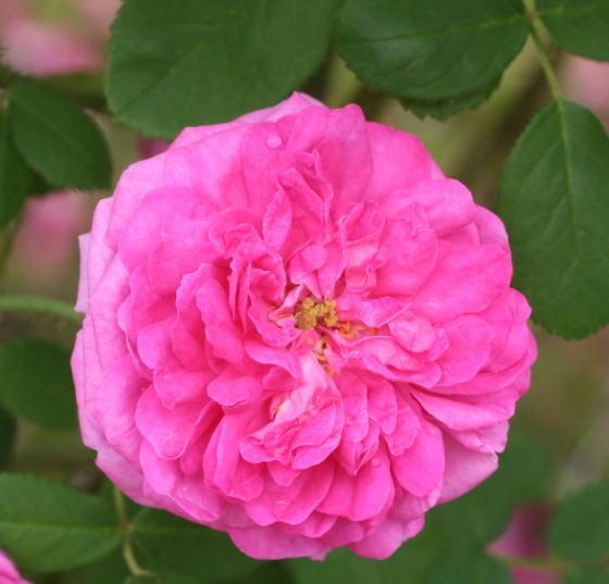 香りバラ・ピンク系バラ エンプレス ジョセフィーヌ
