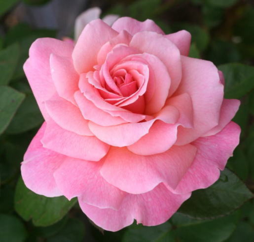 ピンク系バラ ティックルド・ピンク