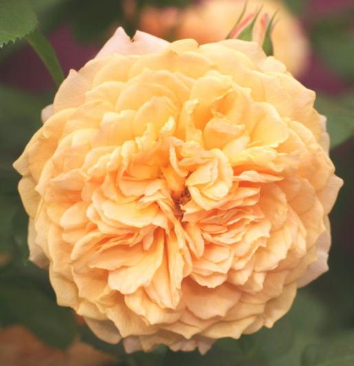 オレンジ系バラ マリー・ルイーズ・ドゥ・ラ・ラメー