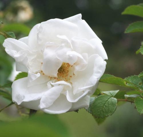 白系バラ マダムジョルジュブリュアン