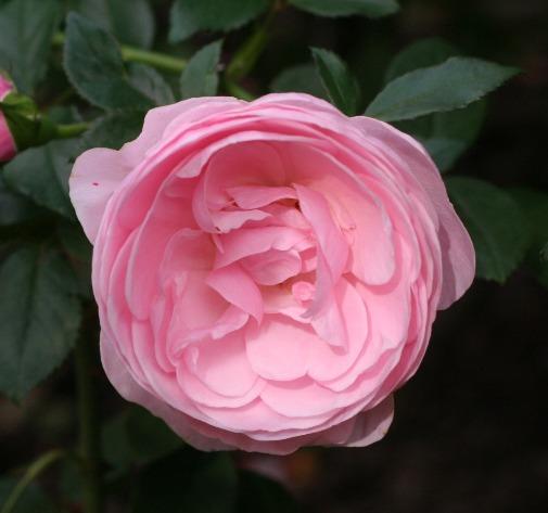 ピンク系バラ ハンスゲーネバイン