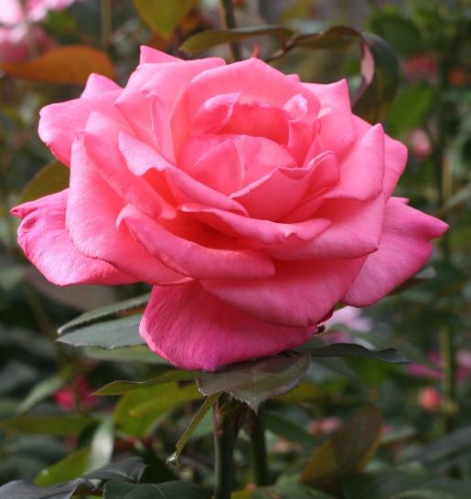 香りバラ・ピンク系バラ アロマテラピー