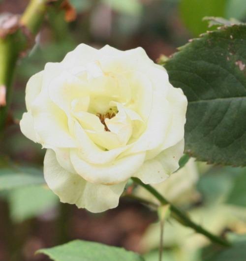 白系バラ グリーン ダイヤモンド