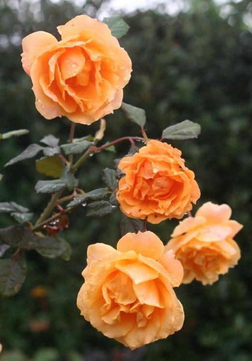 オレンジ系バラ クイーン バガテル