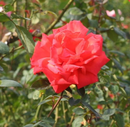 オレンジ系バラ サマーホリデー