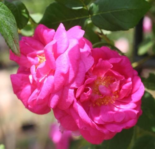 紫のバラ アマディス