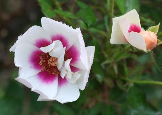 複色系バラ ラルサバビロン