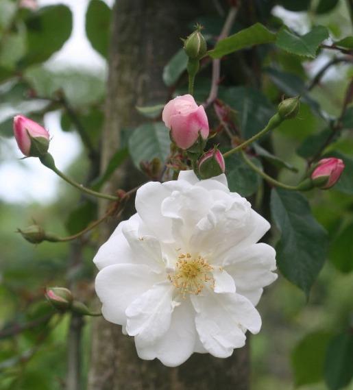 白系バラ・ピンク系バラ アデレー ド ドルレアン