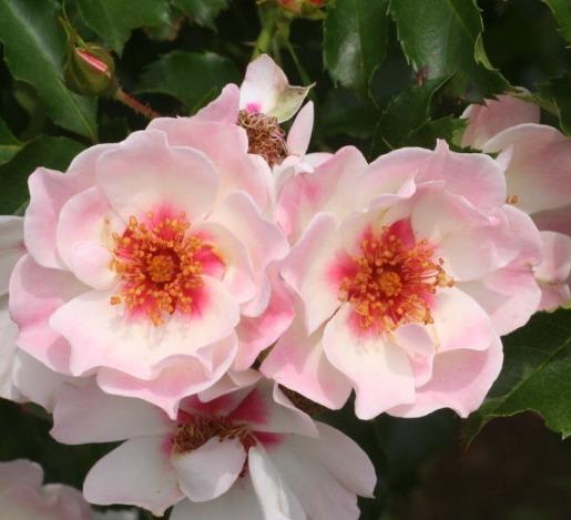 ピンク系バラ エリドゥバビロン