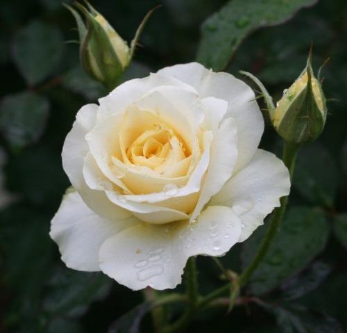 黄色系バラ 和音