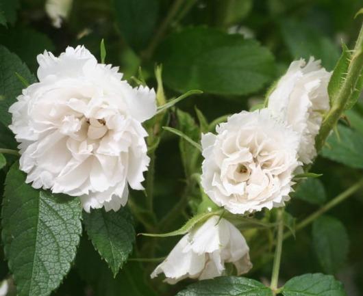白系バラ ホワイトグローテンドルスト