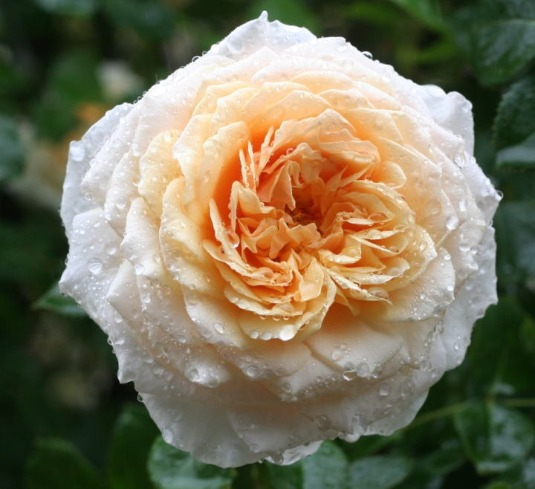 オレンジ系バラ イングリッシュ・ガーデン