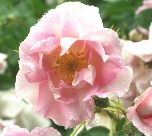 ピンク系バラ マリネット