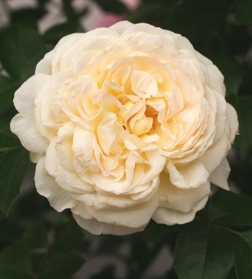 白系バラ クリームアバンダンス