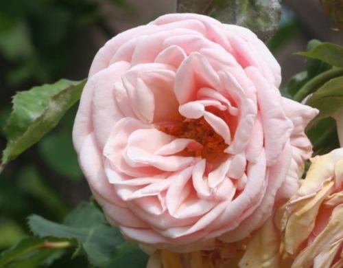 ピンク系バラ アダム