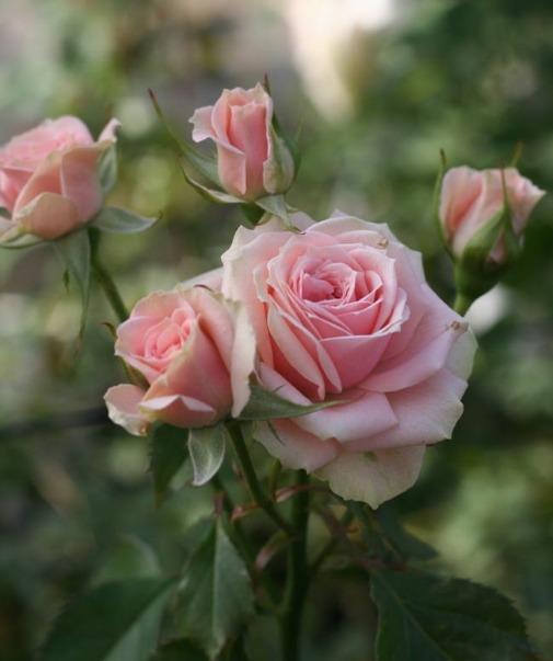 ピンク系バラ センセーション