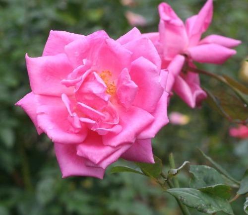 ピンク系バラ エディター マクファーランド