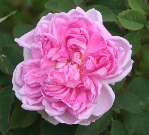 ピンク系バラ スーペル エ ノッティング