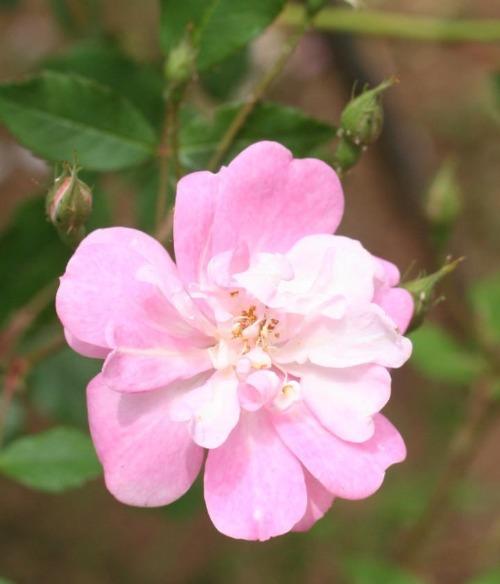 ピンク系バラ バミューダ キャスリーン
