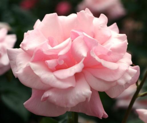 ピンク系バラ プロミス