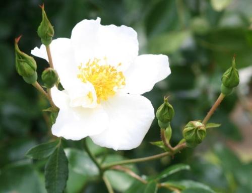 白系バラ シルバームーン