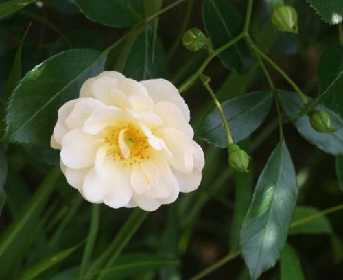 白系バラ シュネーケニギン