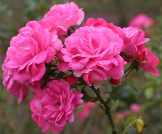 ピンク系バラ パルメンガルテン フランクフルト