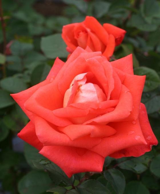 オレンジ系バラ ローラ