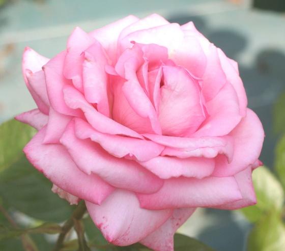 ピンク系バラ ウエディングベルズ
