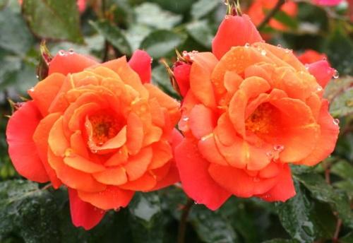 オレンジ系バラ ディズニーランドローズ