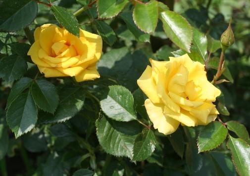 黄色系バラ レヨンドゥソレイユ