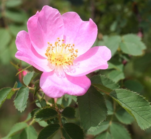 ピンク系バラ ヒベルニカ