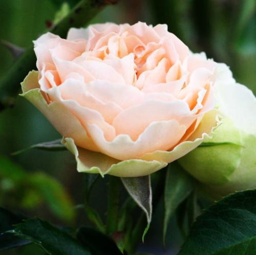 オレンジ系バラ アンティークレース