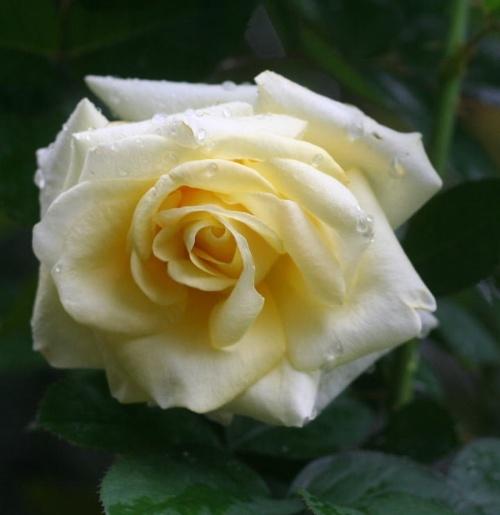 黄色系バラ ザウェインライト ローズ