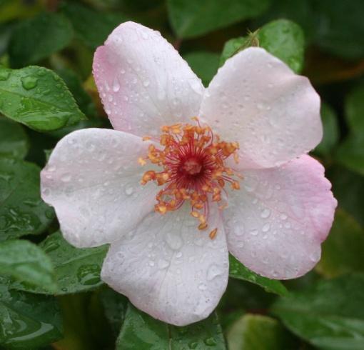 ピンク系バラ ピンクサクリーナ