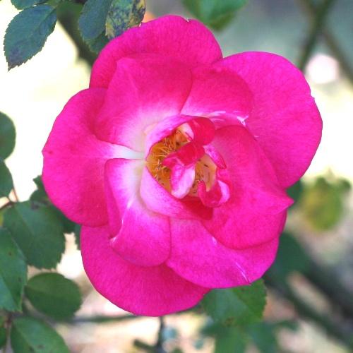 ピンク系バラ サンライズサンセット