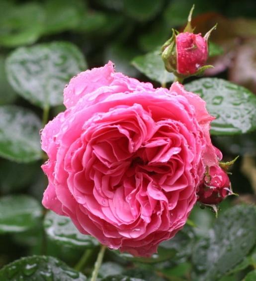 ピンク系バラ レオナルドダビンチ