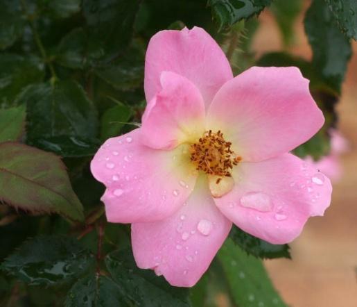 ピンク系バラ レインボーノックアウト