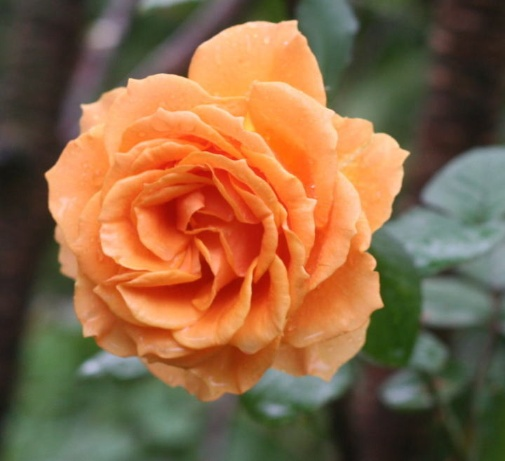オレンジ系バラ・黄色系バラ インドラ