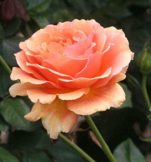 オレンジ系バラ アシュラム