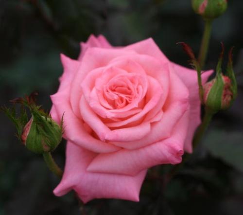 ピンク系バラ チェリッシュ
