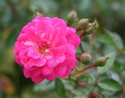 ピンク系バラ ラブリーフェアリー